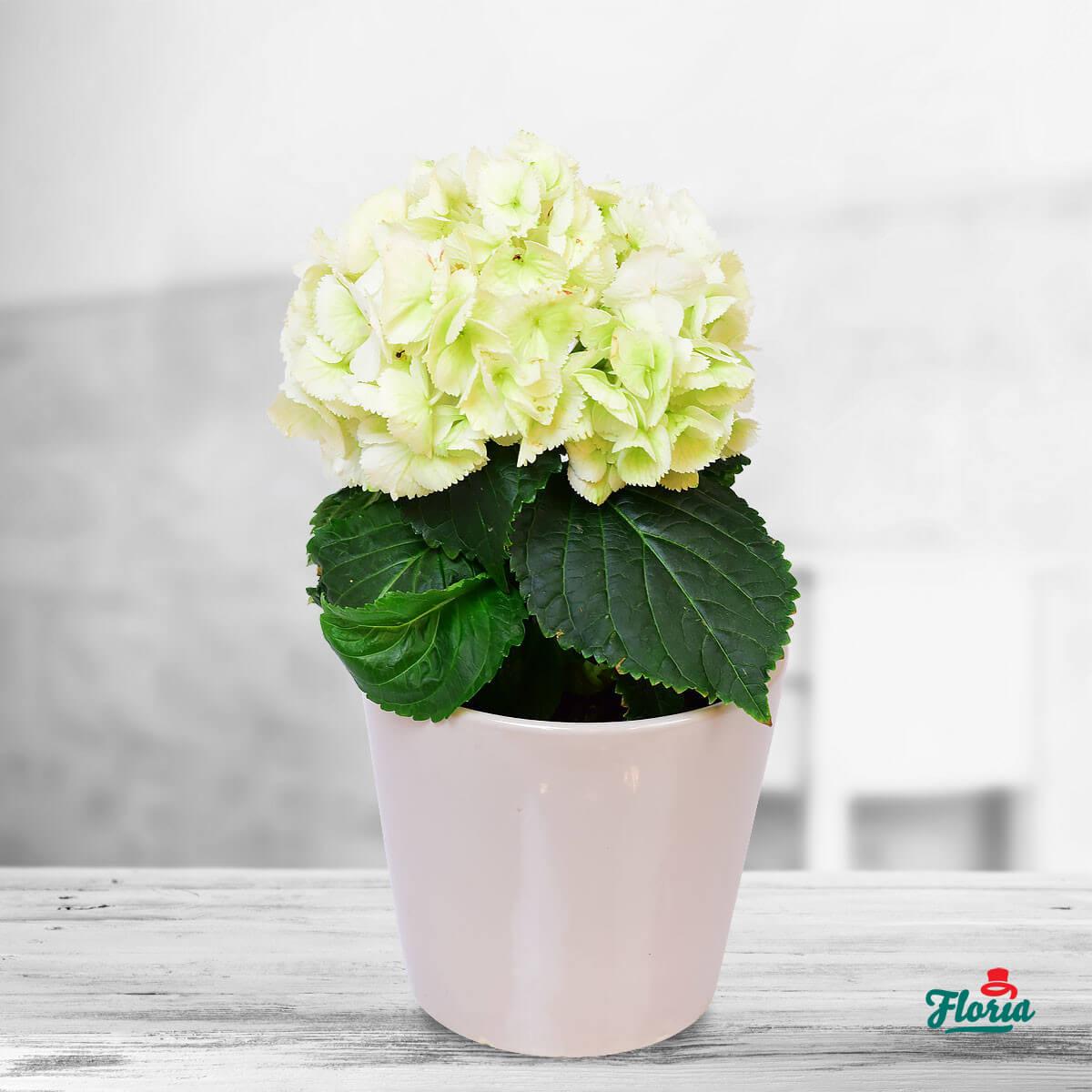 flori-hortennsie-la-ghiveci-33755